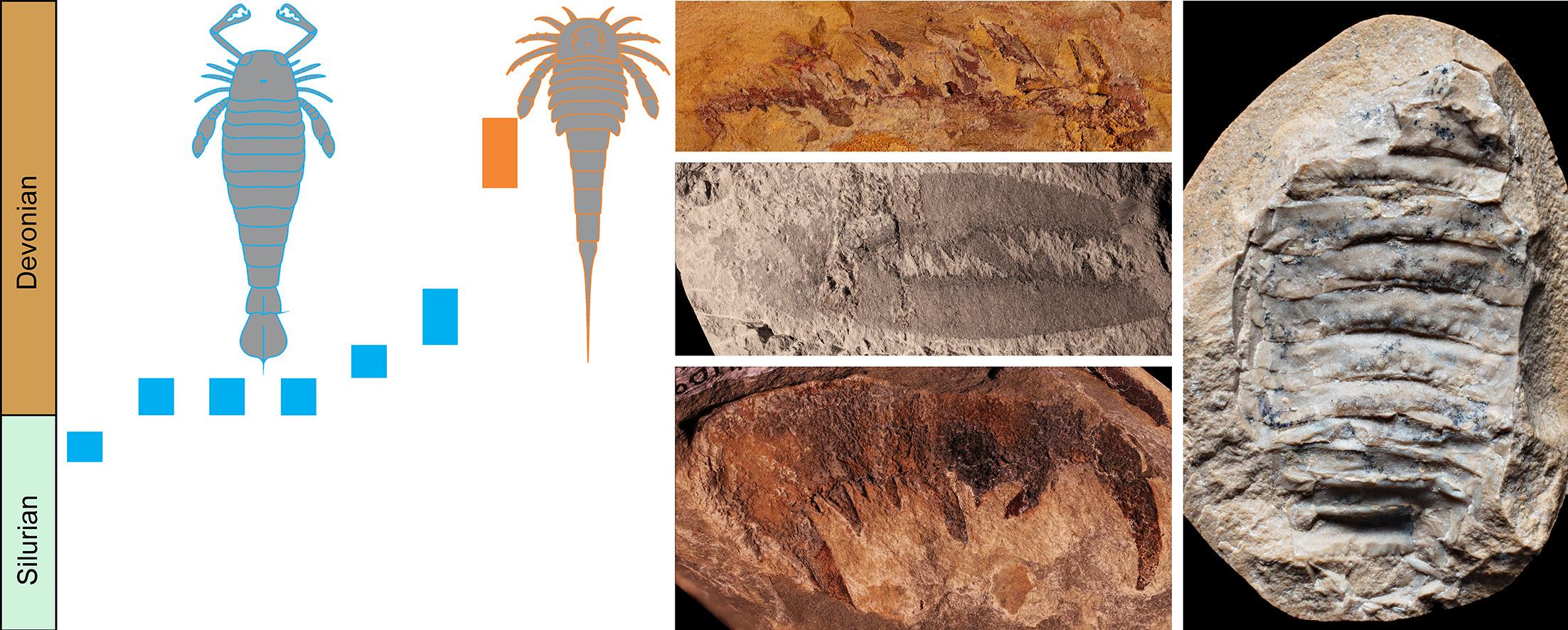 Ejemplos de fósiles de escorpiones marinos australianos´.