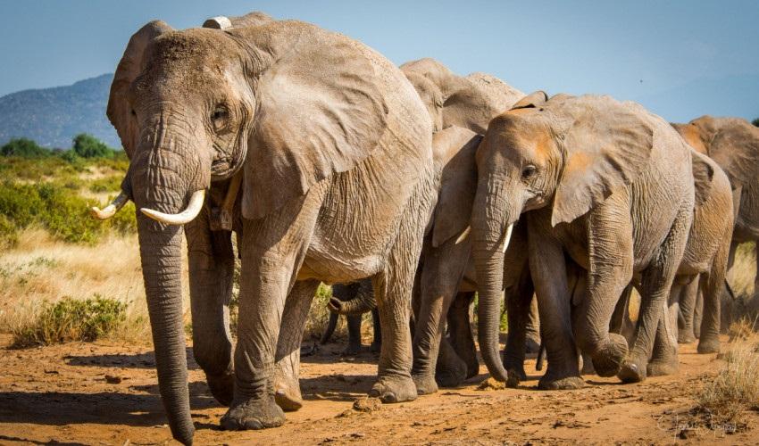 La UICN reconoce a los elefantes africanos como dos especies distintas que están en peligro de extinción