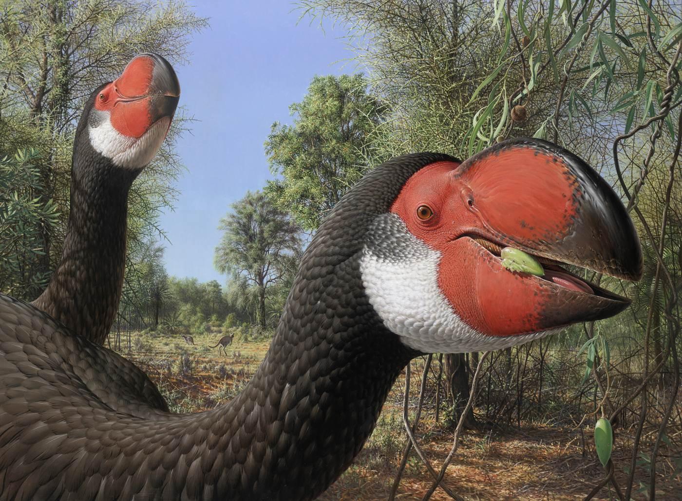 """El ave no voladora más grande que jamás haya vivido tuvo un cerebro """"apretado"""""""
