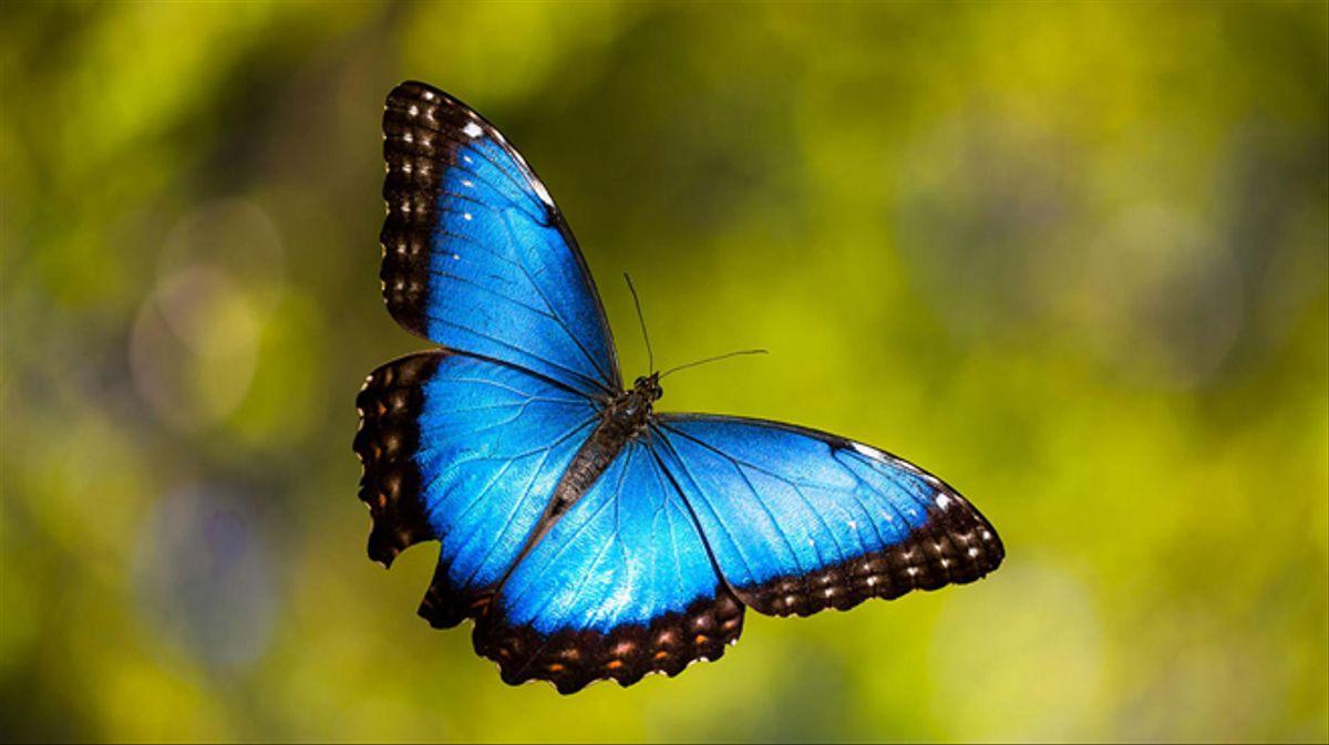 ¿Cuál es el tiempo más largo que puede vivir una mariposa?